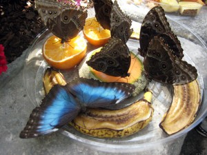 A blue morpho feeding on fruit at Butterflies LIVE!