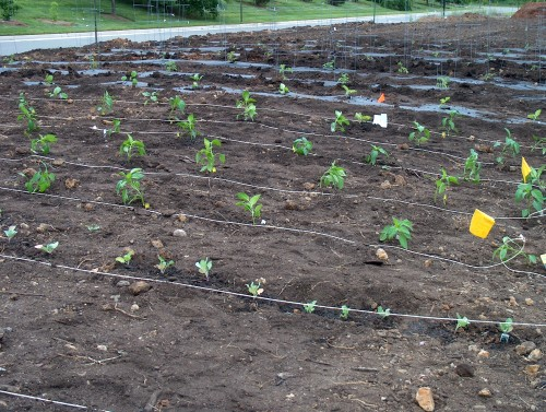 Cabbages in front row, bell peppers behind