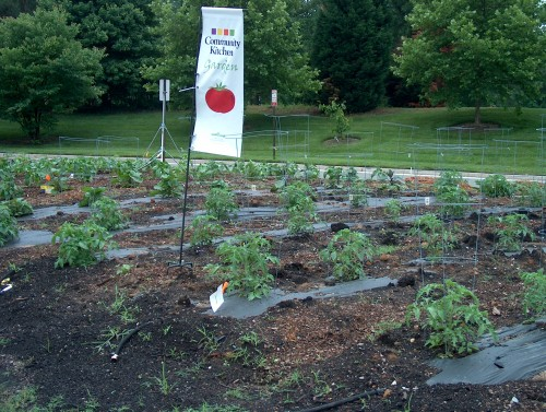 Rows and rows of tomatoes!
