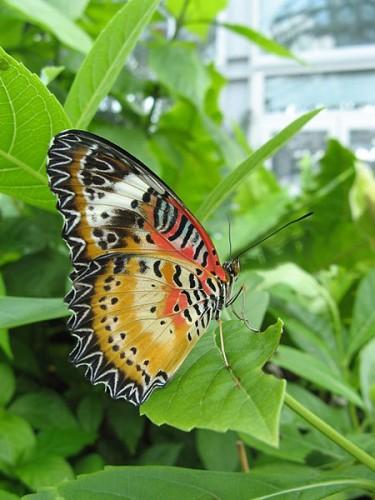 Cethosia cyane (Leopard Lacewing) butterfly