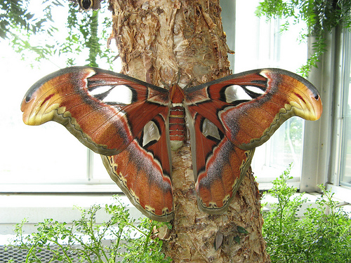 Lewis Ginter's new Atlas Moth