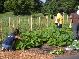 Volunteers harvest summer squash