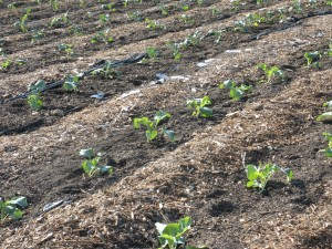 New rows of cabbages, brocolli and cauliflowers!