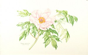 Paeonia suffruticosa, watercolor by Juliet Kirby