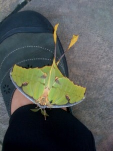 An African Moon Moth, newly emerged & perched on my shoe!