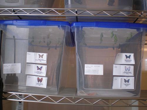 Butterflies in Plastic Bins web