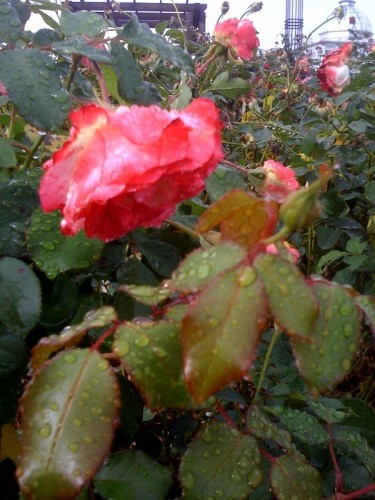 dew-covered rose in the rose garden