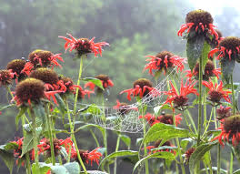 Red Monarda or Bee Balm with a spider web.  Photo Credit Langdon Clay