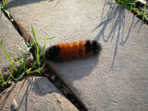 We took this photo of the woolly bear caterpillar yesterday. Based on its markings, it looks like a ver mile winter.