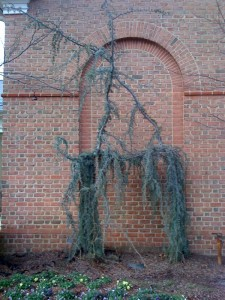 Weeping Conifer