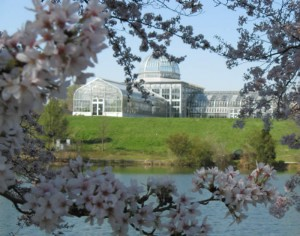 Cherry blossoms & the Conservatory