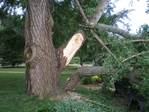 Our Ginko tree with downed limbs caused by heavy fruit
