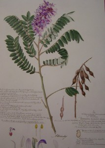 Alexandre Descubes collection of botanical drawings, 2001
