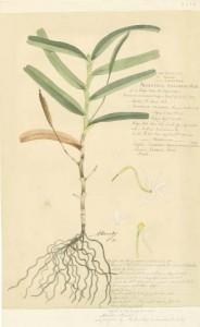 Aeranthus, Alexandre Descubes, c 1875