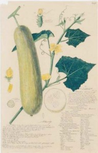 Cucumis, paint and graphite on paper, Alexandre Descubes c 1875.
