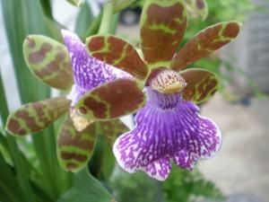 Woodlandsense 'Blue Bird' Orchid