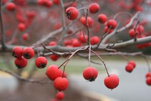 winter king fruit