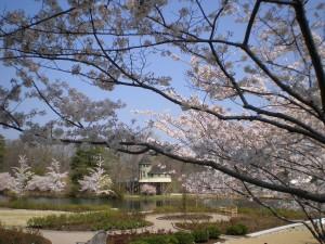 Yoshino cherry trees blooming at Lewis Ginter Botanical Garden