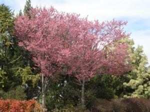 Prunus okame campanulata, Flowering Cherry