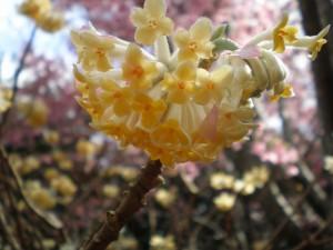 Edgeworthia chrysanta or Paperbush