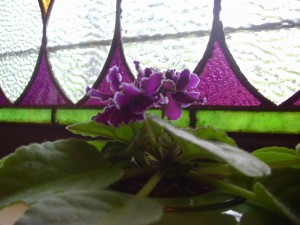 Happy Scandal, the African violet.