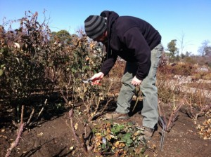 Jay Austin, pruning the roses.