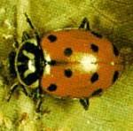 Hippodamia convergen, Convergent Lady Beetle
