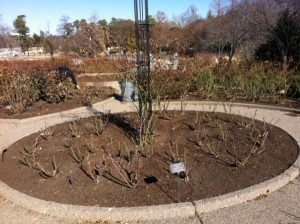 A pruned rose bed (he's leaving those in the center for last).