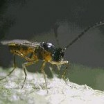 aphidius colemani