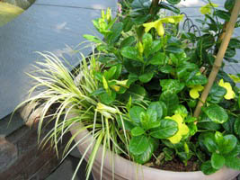 Potted Acoris