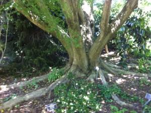 The beautiful wingnut tree aka Pterocarya