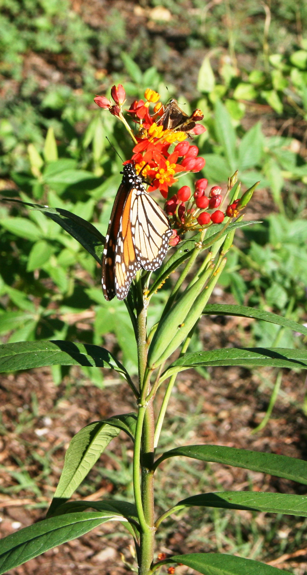 asclepias with butterfly