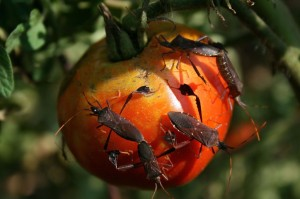 Leaf-Footed Bugs having a post-hurricane party on the Champion (tm) VFNT tomatoes.