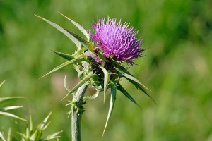 Milk thistle flowerhead, photo courtesy of Fir0002/Flagstaffotos