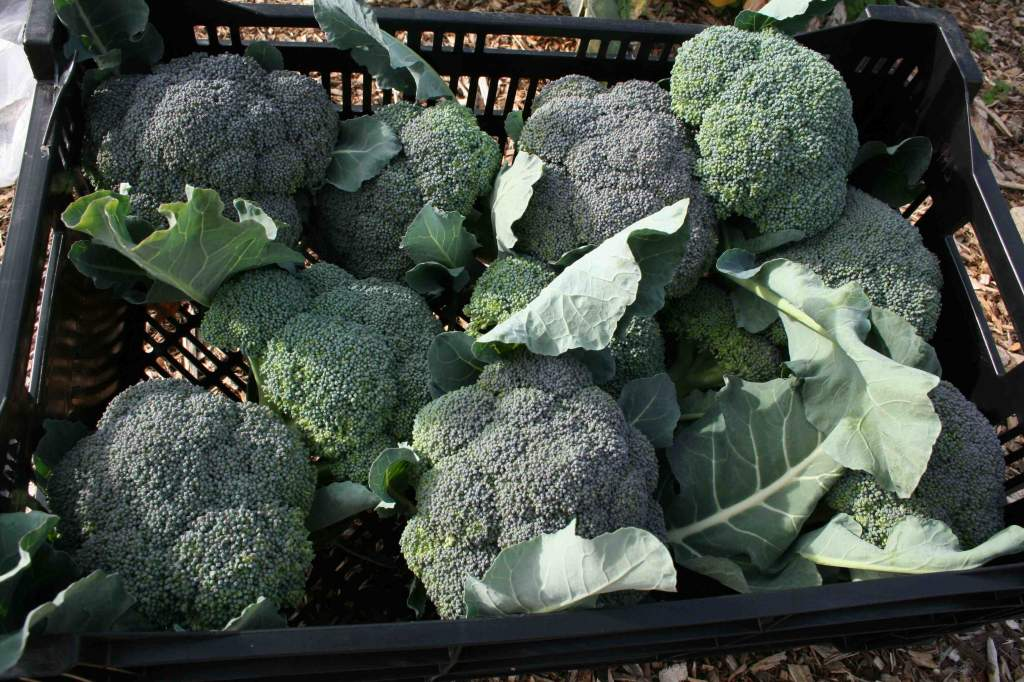 Part of the 64 pounds of broccoli harvested 11/28/11 (156 lbs. of broccoli year-to-date).