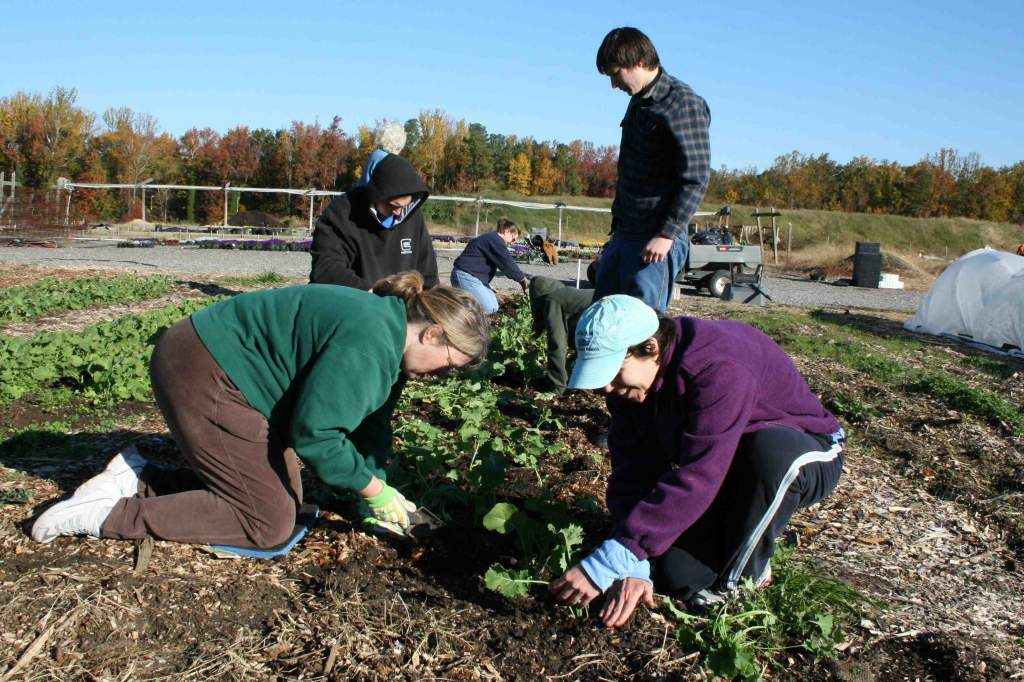 Lisa Wooten (left) and Jeannie Arnold (right) and the Hooks family dividing and transplanting kale.