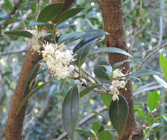 osmanthus bloom