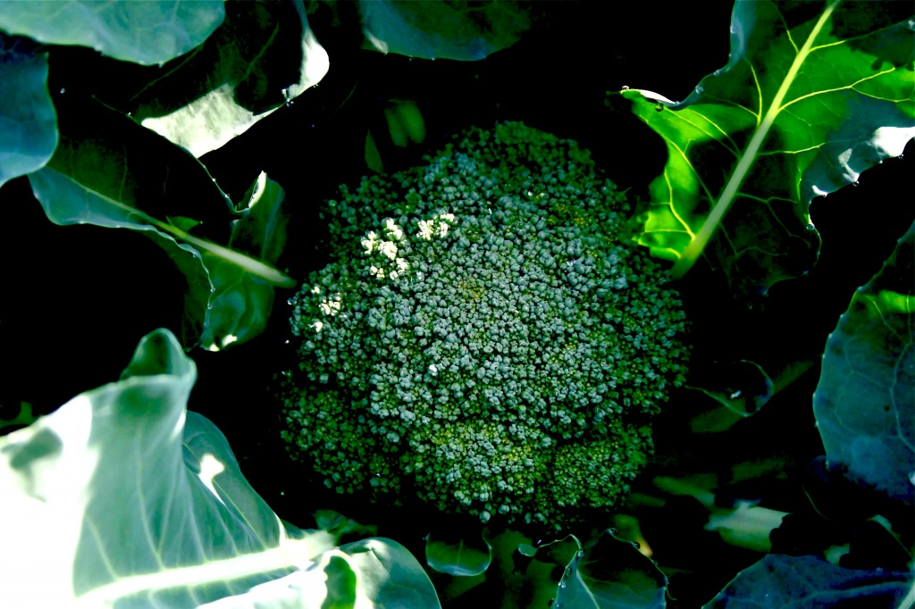We have some good-looking broccoli in progress - a total of 190 plants.
