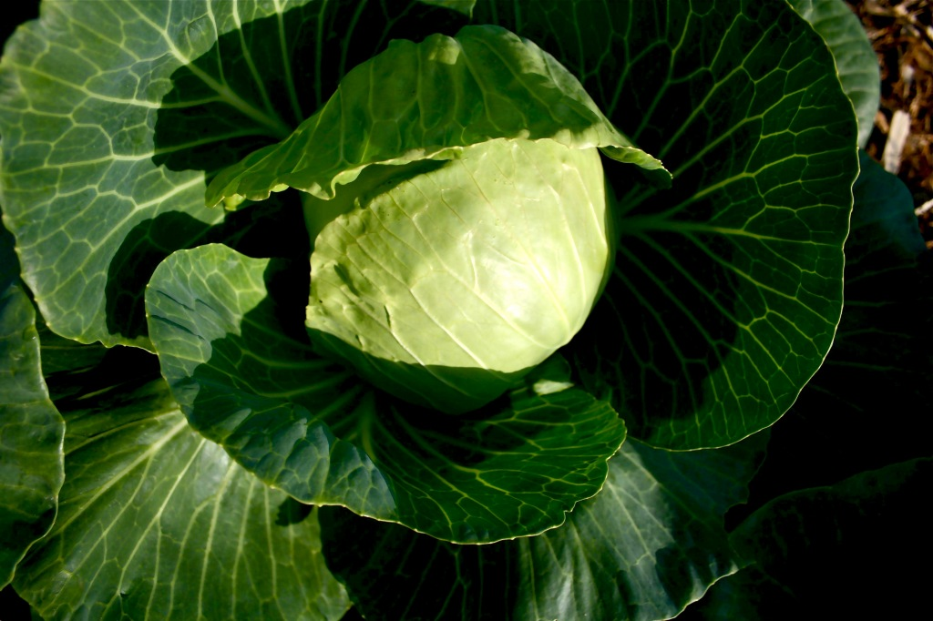 "We have three types of cabbages: conventional Jersey, Early Gonzales (a ""mini"" cabbage) and a red cabbage. A total of 150 cabbages."
