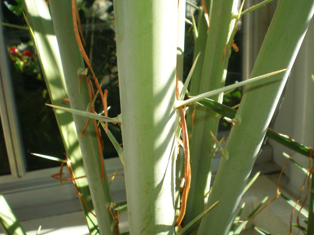 Conservatory Date Palm with thorny stem