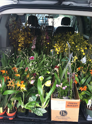 I made a trip to Waldor Orchids in New Jersey to pick up some of the specialty species.  210 orchids packed in a mini-van made for one sweet-smelling ride back to Virginia.