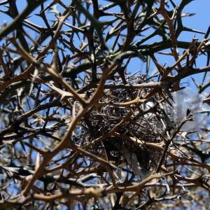 A nest in the hardy orange tree (Poncirus trifoliata).