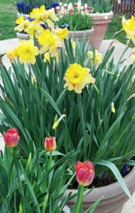 Potted daffodils, photo by Barb Sawyer