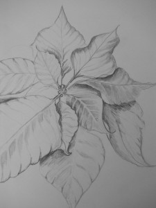 Poinsettia  bracts  from the botanical illustration class.
