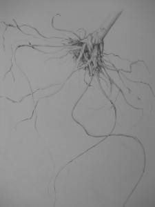 ....our first assignment was to draw the roots of a Poinsettia plant.