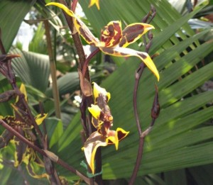 A South American beauty from Orchids Galore!