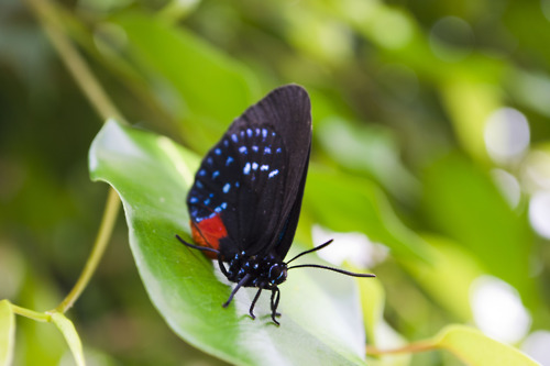 Atala Hairstreak (Eumaeus atala) resting on a leaf at Lewis Ginter Botanical Garden.  (Photo by Garrett McLees)