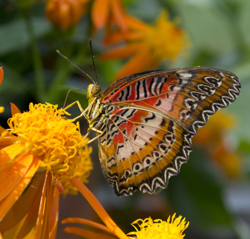 Pictured here is the Leopard Lacewing (Cethosia cyane).  (Photo by Garrett McLees)