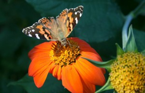 tithonia with butterfly