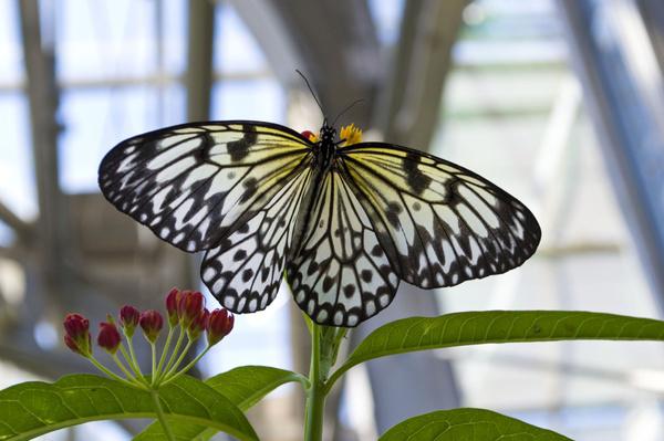 Paper kite butterfly, Photo by Garrett McLees